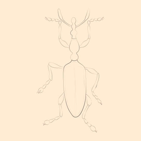Weevil illustration. Hand drawn isolated sketch. Vector.