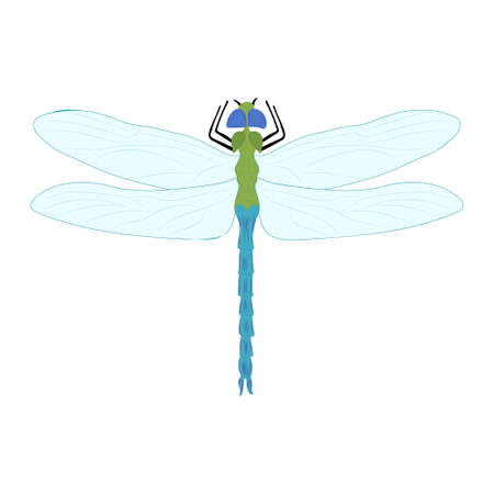 Dragonfly color illustration isolated on white background. Vector.
