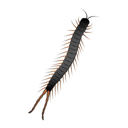 Scolopendra color illustration isolated on white background. Vector.