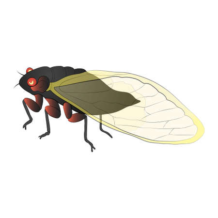 Cicada color illustration isolated on white background. Vector.