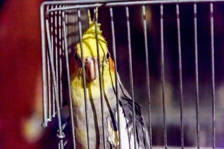 corella parrot in the cage