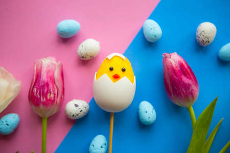 White tulips and toy chicken in shell on blue and pink background. Easter greeting card