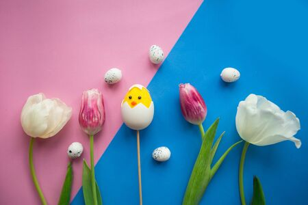 tulips and toy chicken in shell on blue and pink background. Easter greeting card