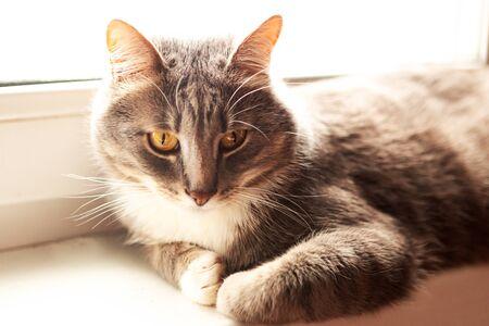 Beautiful gray cat sits on the windowsill Фото со стока