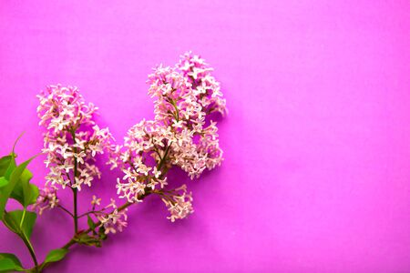 Lilac blooming branch on pink background. Copy space for the text
