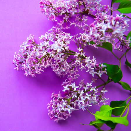 Lilac blooming branch on purple background.