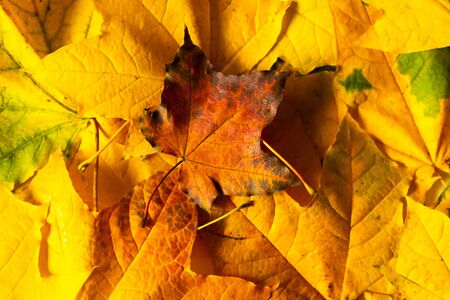 Autumn maple leafs as a texture. Golden fall background