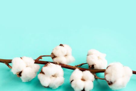 cotton branch on blue pastel background flat lay top view copy space