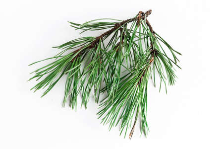 Natural pine branch isolated at white background, top view