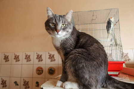 Gray cat sits near cage with parrot. Domestic pets indoors concept Imagens