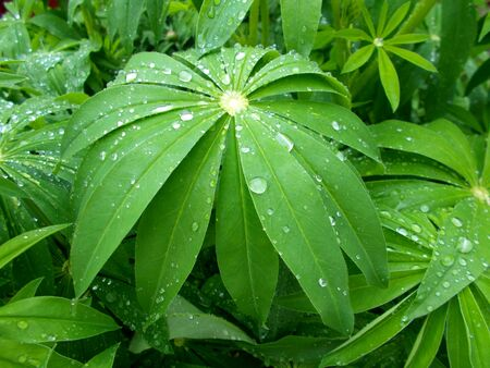 Water on green leaves after rain