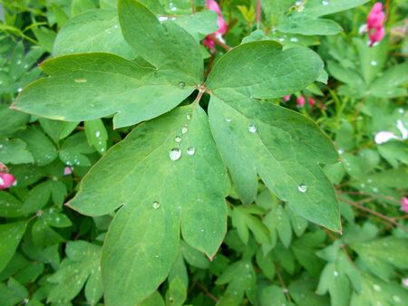 Water drops on leaves after rain
