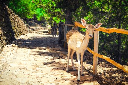 白尾鹿在夏日。森林景觀。