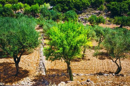 Olivenhain an den hellen Sonnenlichtstrahlen am Sommertag. Lizenzfreie Bilder