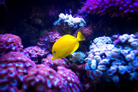 Beautiful yellow tang (Zebrasoma flavescens) fish on purple and pink reef background. Most popular saltwater aquarium fish. Stockfoto