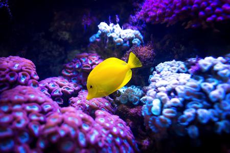 Mooie gele zweempje (Zebrasoma flavescens) vissen op purpere en roze ertsaderachtergrond. Populairste aquarium van zeewateraquaria.