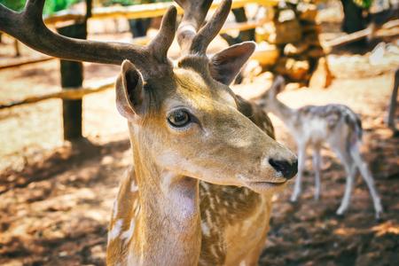 Herten hoofd close-up bekijken. Wildlife in natuurlijke habitat.