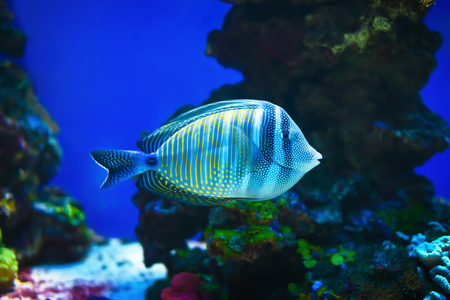 Red sea sailfin tang (Zebrasoma desjardinii) fish simming on stone reef background.
