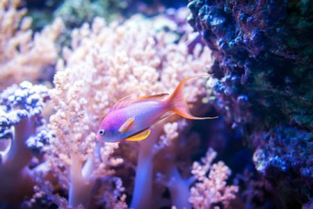 Pescados del goldie del mar en fondo rosado del coral y de la piedra.