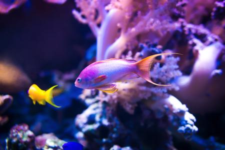 Twee zee goldie vissen zwemmen op roze koraalachtergrond.