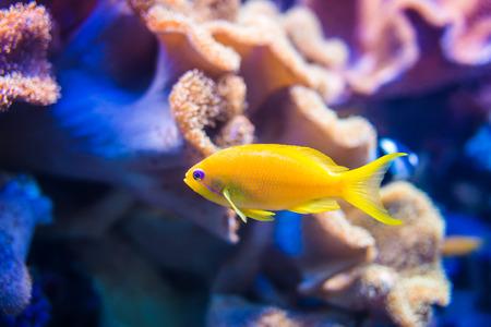 Gele zee goldie vis op oranje en roze koraalachtergrond. Stockfoto