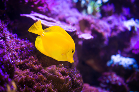 Yellow tang (Zebrasoma flavescens) fish on purple reef background. Most popular saltwater aquarium fish.