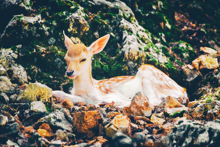 Young deer laying down on the rocky stones. Banco de Imagens