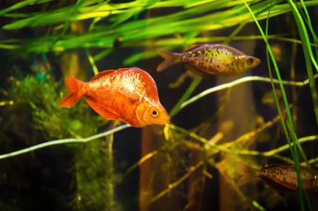 Verschillende rode regenboogvissen (zalmrode regenboogvissen) zwemmen door de zeewier