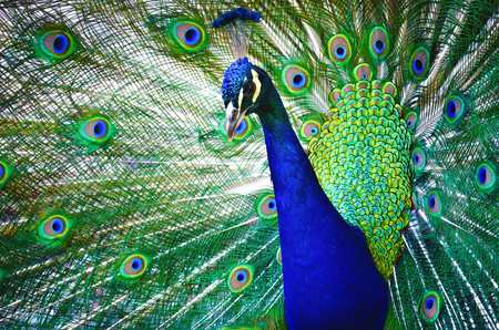 Portrait of beautiful peacock with feathers out. Nature background.