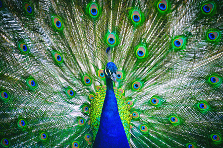 Portrait of peacock with blossomed tail.