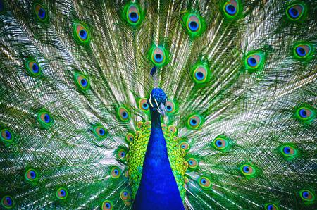 Retrato de pavo real con cola florecida. Foto de archivo