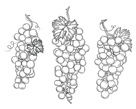 Wine growing contour design elements Silhouette vector objects with separate leaves