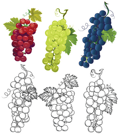 wine growing: Grapes design vector elements Three contour bunch and three colored bunch, leaves separated