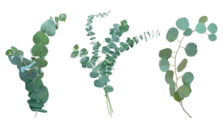 Baby blue, spiral and silver dollar eucalyptus species selection