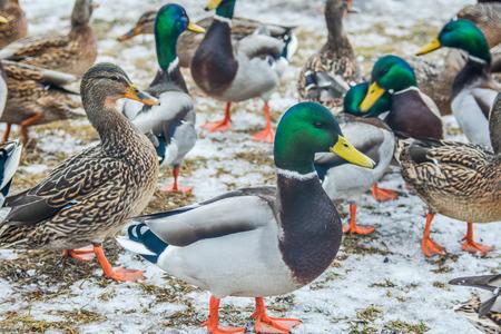 tame: Tame ducks
