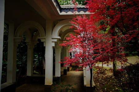 chinoiserie: Red Maple tree next to the House
