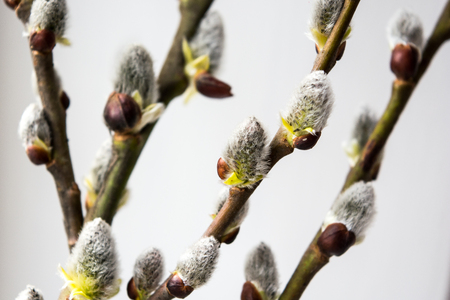 spring bud: Buds of the willow at spring. Stock Photo
