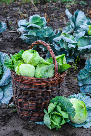 Harvest of green cabbage in a basket. Autumn season.