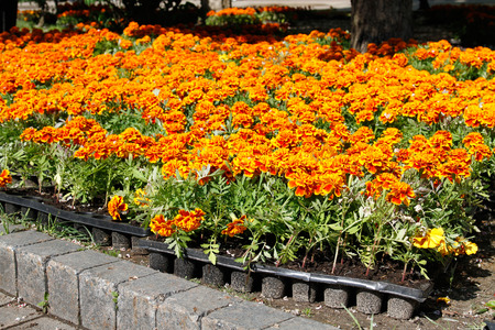 tagetes: Marigold flowers (Tagetes) in plastic containers before planting