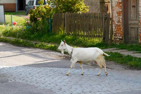 pavers: Goat walking along a road in village