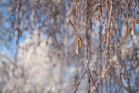 Birch branches and catkins covered with ice as background