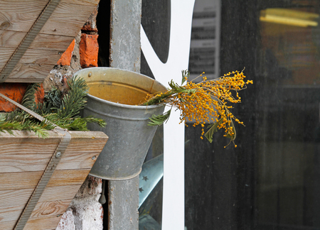 mimose: Mimosas in the bucket hanging on the wall