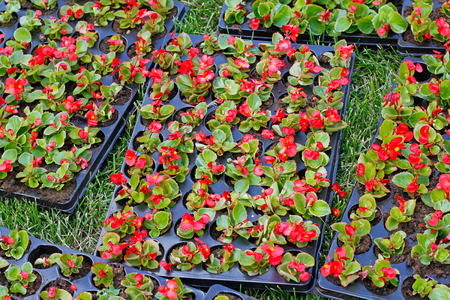 begonia: Bright red begonias in plastic pots for planting in the flower bed on the street