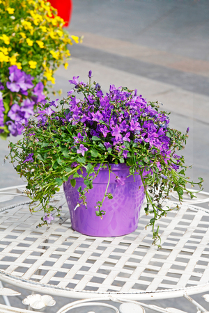 Purple bell flowers campanula in pot on a white table stock photo purple bell flowers campanula in pot on a white table stock photo 72942144 mightylinksfo