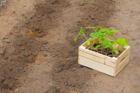 cuke: Wooden box with small cucumbers sprouts ready for seeding on the earth Stock Photo