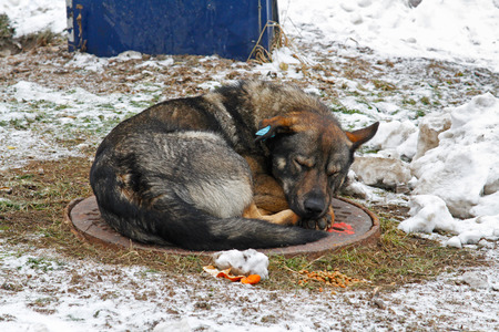 Sleeping stray dog with a clip in the ear (translated from the Russian Vaccinated)