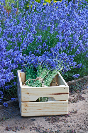 Bouquets of lavender in wooden box in the garden Stock Photo