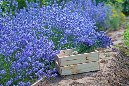 motouz: Bouquets of lavender in wooden box in the garden Reklamní fotografie