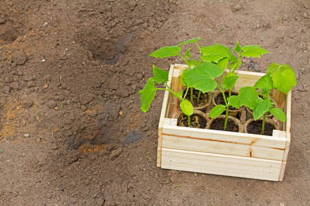 cuke: Wooden box with small cucumbers sprouts ready for seeding on the earth in the garden Stock Photo