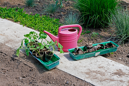 seeding: Watering can and plastic boxes with small cucumbers sprouts and peat pots stand in the garden Stock Photo
